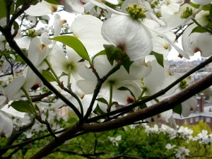 A dogwood in bloom 06