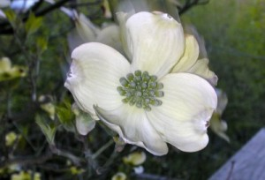 Beloved dogwood