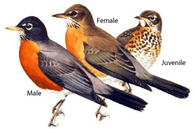 three robins