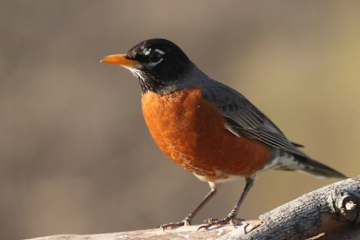 American-Robin-Images