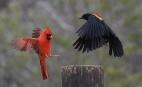 CardinalMaleBackWingPost