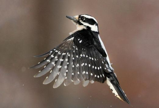The Downey Woodpecker
