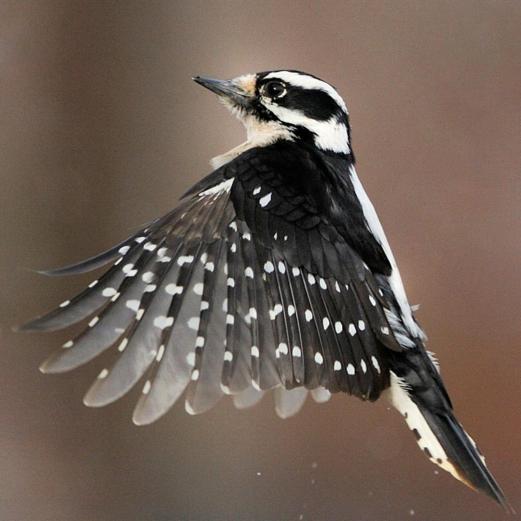 The Downey Woodpecker